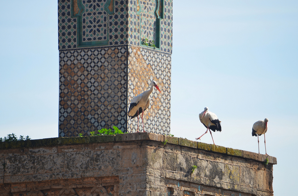 Storks nesting on the 13th century minaret.